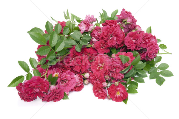 Heap of withering red roses  Stock photo © vavlt