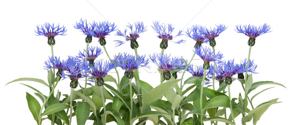 Border from blue cornflowers  Stock photo © vavlt
