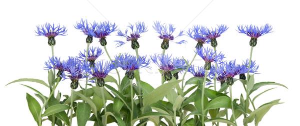 Granicy niebieski ogród głowie Bush wzrostu Zdjęcia stock © vavlt