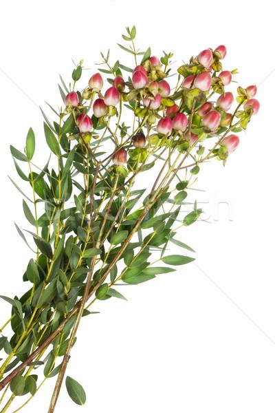 Planta vermelho verde arbusto pequeno Foto stock © vavlt