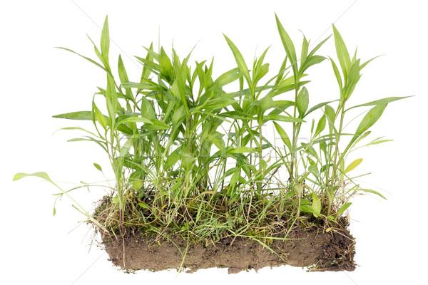 Echt veld geïsoleerd fragment wild planten Stockfoto © vavlt