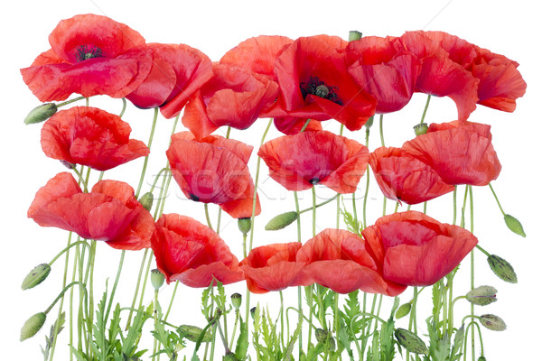 Red  poppies border Stock photo © vavlt