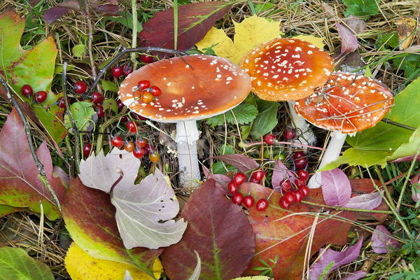 Autumn  background - mushrooms, berries and leaves Stock photo © vavlt
