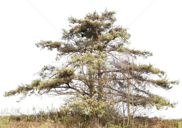 Lonely dying drying up pine Stock photo © vavlt
