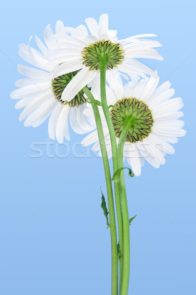 Three white camomiles against the cyan  sky  Stock photo © vavlt