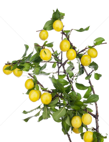Yellow plums hang on the branches Stock photo © vavlt