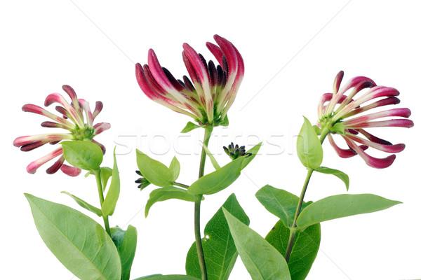 Honeysuckle flowers Stock photo © vavlt