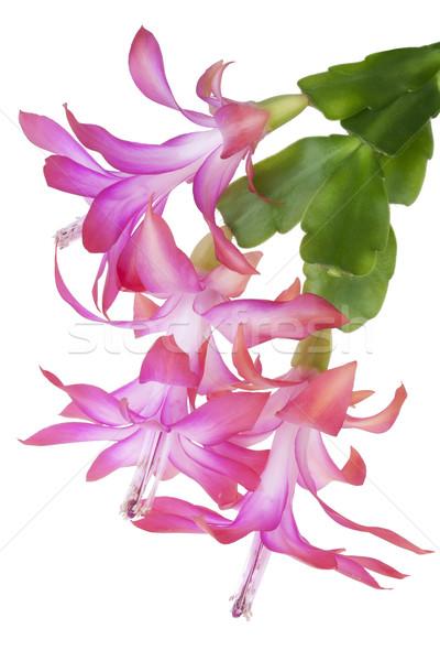 Roze bloem macro bloesems roze Stockfoto © vavlt