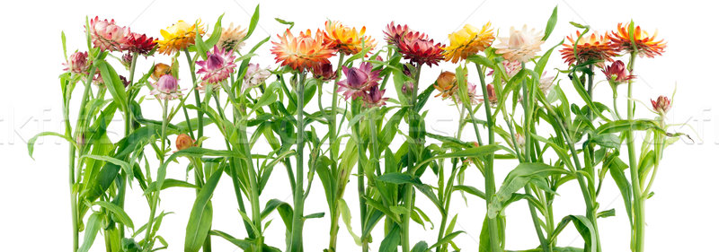 Сток-фото: границе · странно · цветы · трава · изолированный · природы