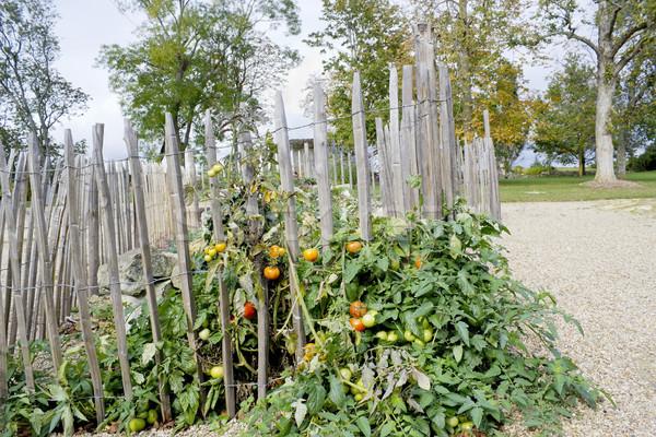 Pomodori arbusto frazione strada panorama Foto d'archivio © vavlt