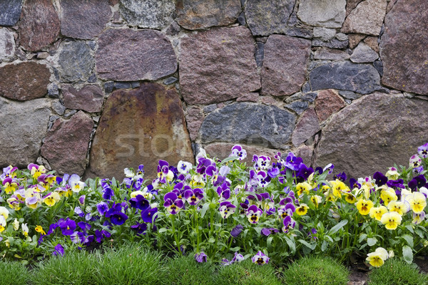 Stock photo: Granite wall and pansies