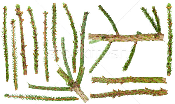 Young fresh branches of a fir-tree set Stock photo © vavlt
