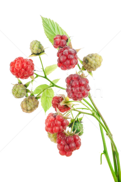 Ripe and unripe red berries Stock photo © vavlt