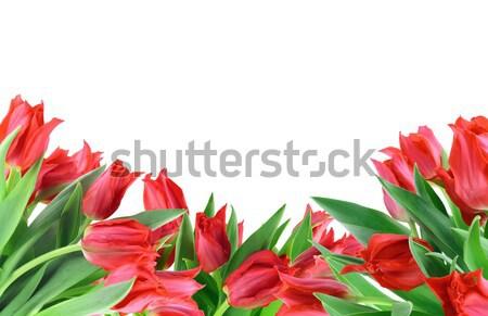 Stock fotó: Piros · tulipánok · izolált · fenséges · virágcsokor · tavasz