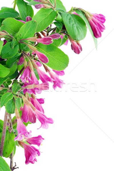 Pink Weigela postcard Stock photo © vavlt