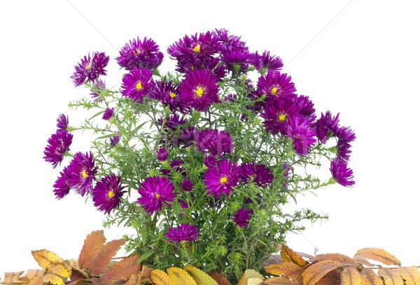 Mały Bush fioletowy w dół odizolowany Zdjęcia stock © vavlt