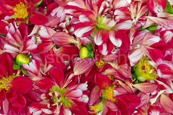Czerwony tle kwiat charakter liści Zdjęcia stock © vavlt