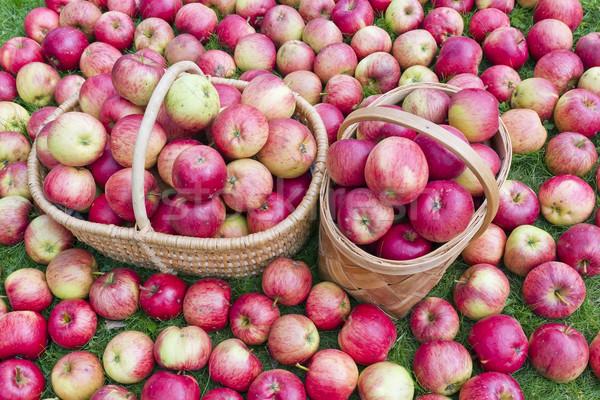 Frutas doce outono real vermelho maçãs Foto stock © vavlt