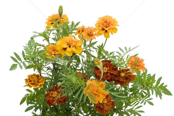Orange  French Marigold isolated Stock photo © vavlt