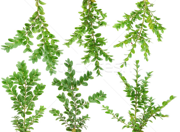 Sempre-viva conjunto plantas isolado branco Foto stock © vavlt