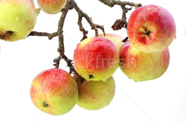 Igazi almák ág izolált piros eső Stock fotó © vavlt