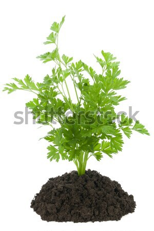 Sprout of the European oak tree Stock photo © vavlt