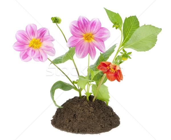 Bush mini dalia kwiaty mały gleby Zdjęcia stock © vavlt