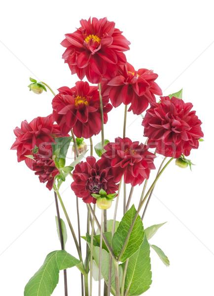 Bush czerwony kwiaty odizolowany kwiat charakter Zdjęcia stock © vavlt