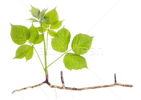 Primavera plântula jardim amora preta haste Foto stock © vavlt