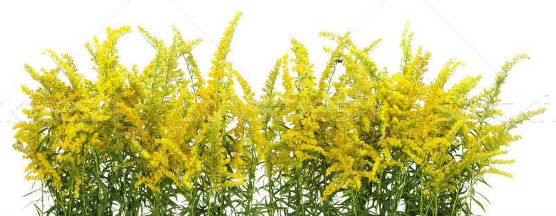 Gele bloemen grens Geel planten bloemen geïsoleerd Stockfoto © vavlt