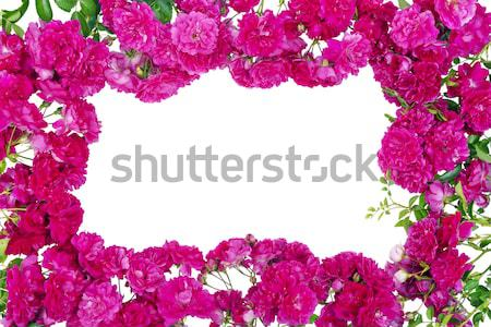 Pink roses frame isolated Stock photo © vavlt