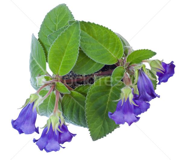 Home flower  'Violett Gloxinia' isolated Stock photo © vavlt
