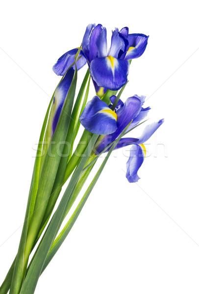 Spring  blue irises isolated Stock photo © vavlt