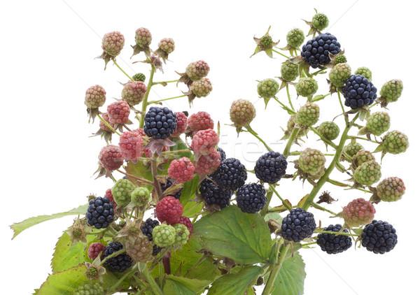 Ripe and unripe berries of a garden blackberry Stock photo © vavlt