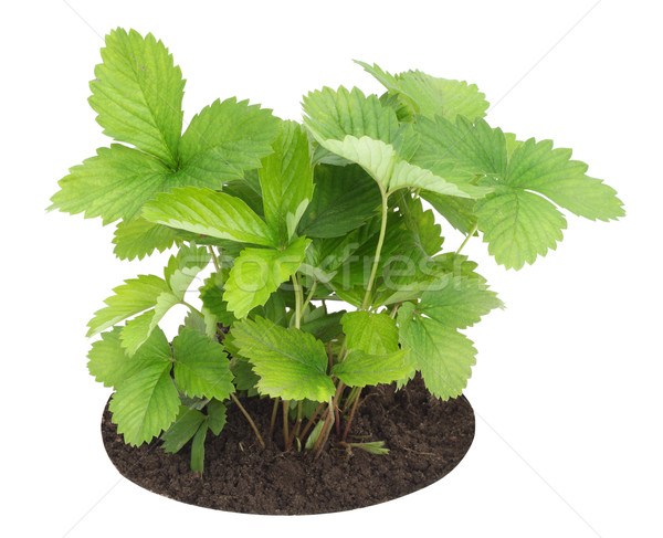 Young sapling of wild strawberry Stock photo © vavlt
