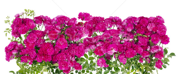Big pink roses floral hedge Stock photo © vavlt