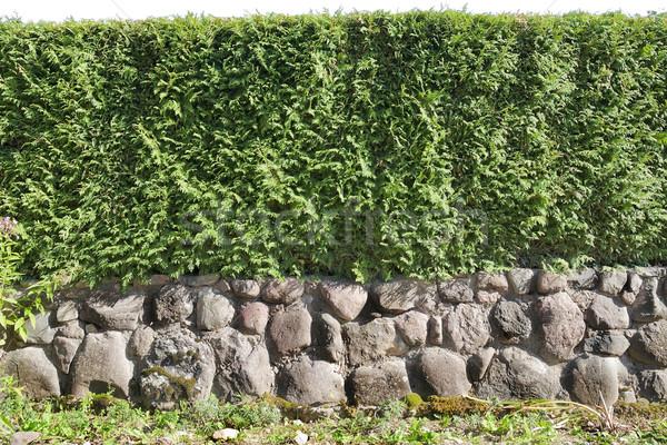 Fragment of a  hedge  Stock photo © vavlt