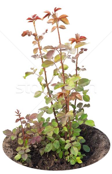 Kırmızı bahçe güller fidan genç Stok fotoğraf © vavlt