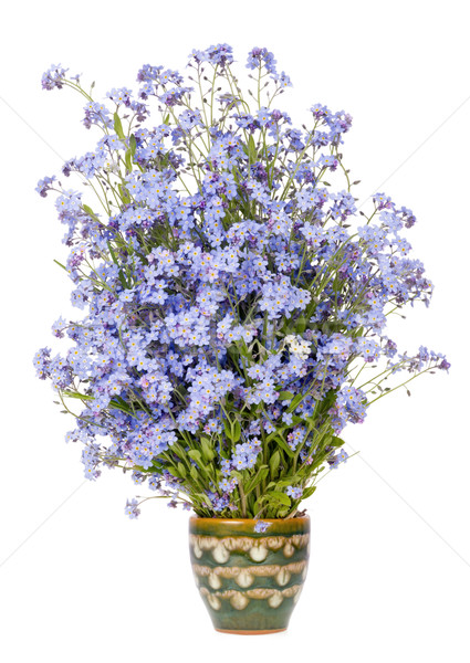 Gentle rare blue small flowers Stock photo © vavlt