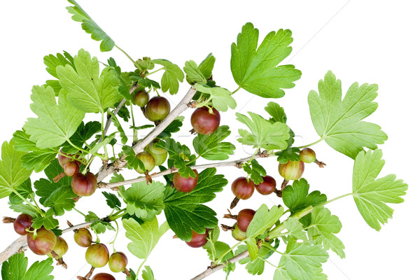 Isolated unripe gooseberry Stock photo © vavlt