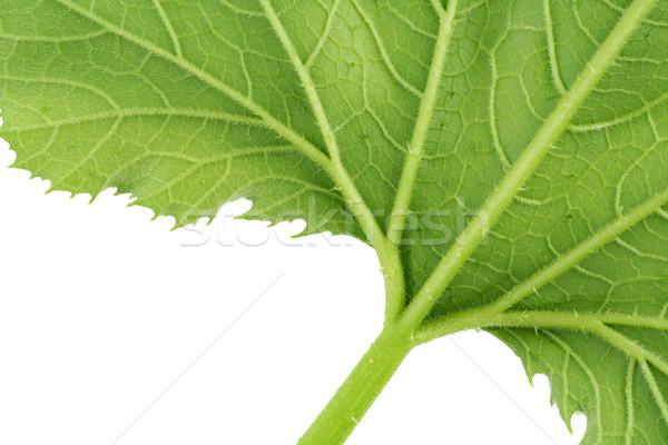 Kócos zöld levél izolált közelkép makró fa Stock fotó © vavlt
