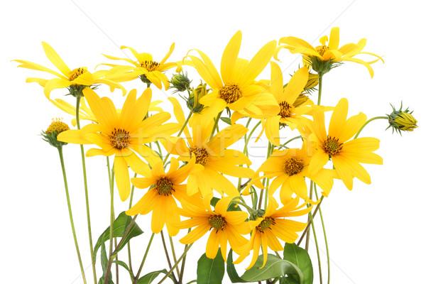 Topinambur yellow flowers background Stock photo © vavlt