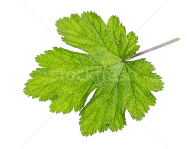 Izolált zöld nagy friss zöld levél nyár Stock fotó © vavlt