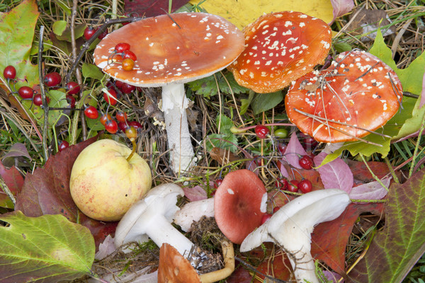 Autumn  background with mushrooms, berries and leaves Stock photo © vavlt