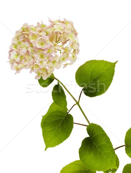 Branch of a flower of a pink Hydrangea Stock photo © vavlt