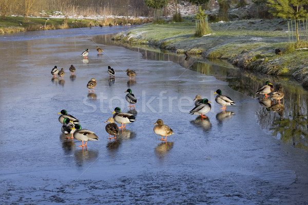 Ducks on ice Stock photo © vavlt