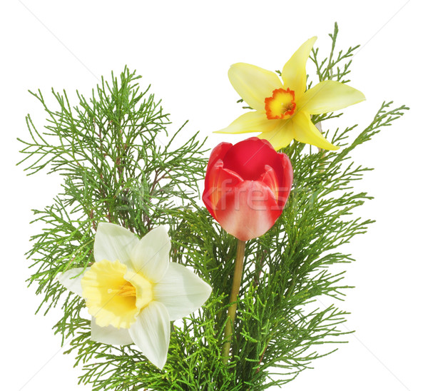 Spring flowers - a tulip and narcissuses with juniper branches Stock photo © vavlt