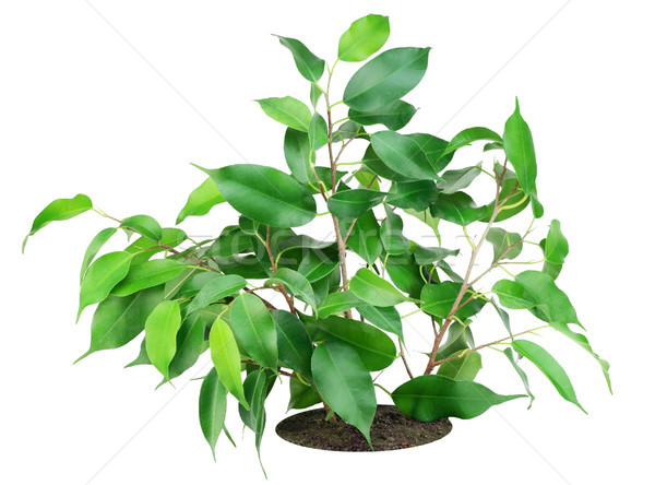 Favourite indoor plant 'Ficus' on bed Stock photo © vavlt