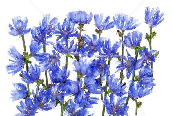 синий василек фантастический макроса Сток-фото © vavlt