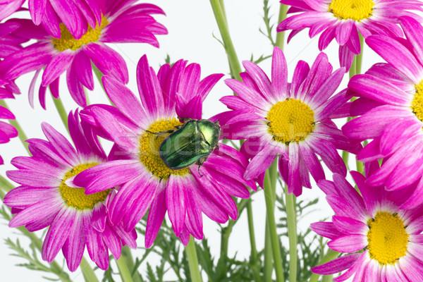 Verde bug rosa margherite smeraldo effettivo Foto d'archivio © vavlt